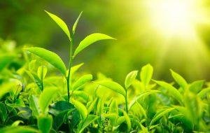 Cây trà xanh là thảo dược làm đẹp quen thuộc
